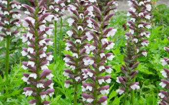 Acanthus (Bears Breeches) hungaricus 'White Lips'