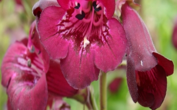 Penstemon Blackberry