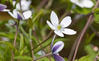 Anemone Rivularis- Riverside windflower