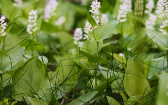 Maianthemum bifolium (false lily of the valley)