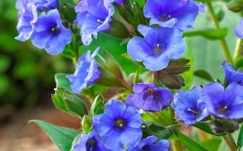 Pulmonaria Blue Ensign AGM
