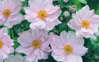 Anemone Queen Charlotte