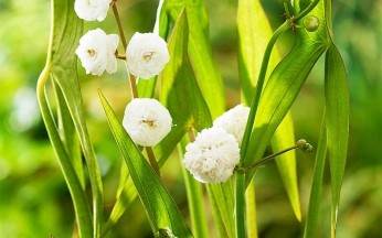 Sagittaria sagittifolia 'Flore Pleno' (double-flowered arrowhead)