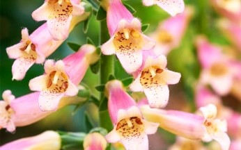 Digitalis (Foxglove) 'Glory of Roundway' AGM