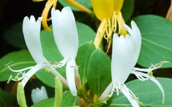 Lonicera (Honeysuckle) japonica 'Halls Prolific' AGM