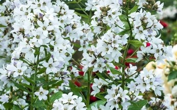 Campanula Lactiflora 'Alba' AGM
