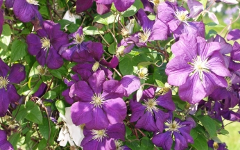 Clematis Violette