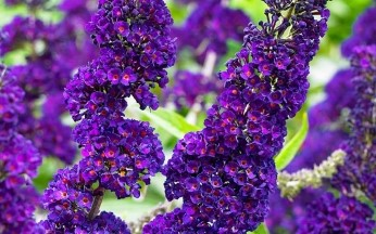 Buddleja davidii 'Black Knight' AGM