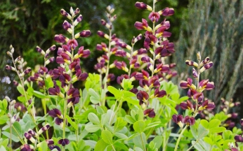 Baptisia Decadence Deluxe ® 'Dutch Chocolate'