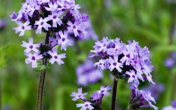Verbena 'Boughton House'