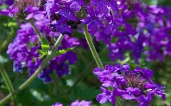 Verbena Glandularia 'Homestead Purple'