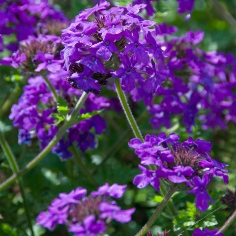 Verbena Glandularia Homestead Purple Telegraph Garden Shop