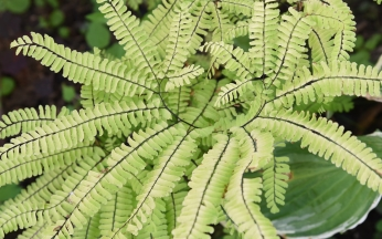 Hardy Evergreen Fern Adiantum aleuticum Imbricatum