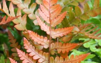 Dryopteris (fern) erythrosora