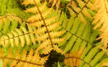 Dryopteris (fern) wallichiana 'Jurassic Gold'- NEW