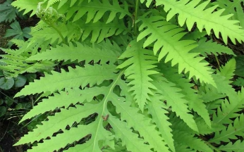 Onoclea sensibilis AGM- Sensitive fern