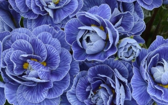 Primula Belarina 'Baltic Blue' PBR