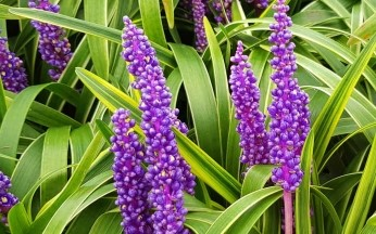 Liriope muscari Golden Banded