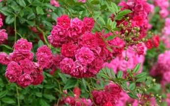 Rosa Super Excelsa