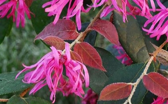 Loropetalum chinensis 'Ming Dynasty'