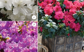 NEW Award-Winning Dwarf Azaleas