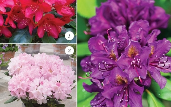 Award-Winning Rhododendron Collection