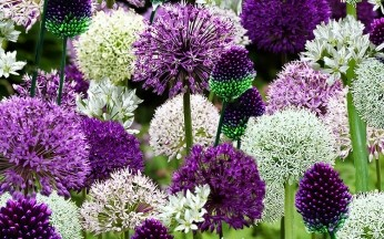 Allium Ultimate Collection