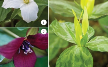 Award-Winning Trillium Mix