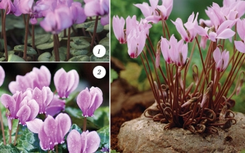 Award-Winning Cyclamen Collection