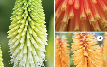Kniphofia Collection