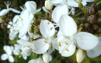 Libertia chilensis procera AGM