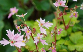 Saxifraga cortusifolia 'Cheap Confections'
