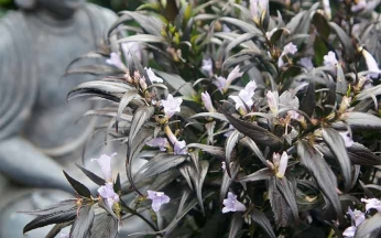 Strobilanthes anisophyllus Brunetthy