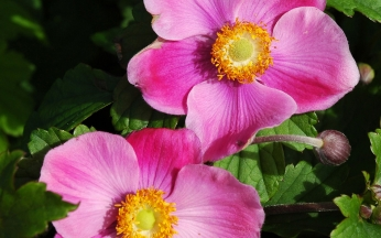 Anemone (Elegant Japanese Windflower) x hybrida September Charm