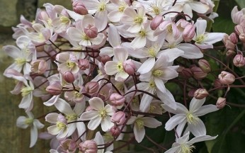 Clematis armandii Apple Blossom AGM