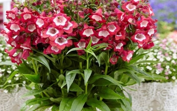 Penstemon Pentastic Red