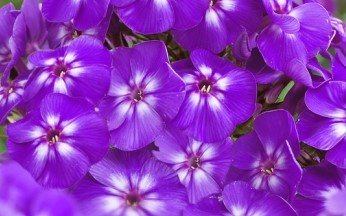 Phlox Adessa Dark Purple