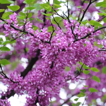 Cercis siliquastrum - The Judas Tree