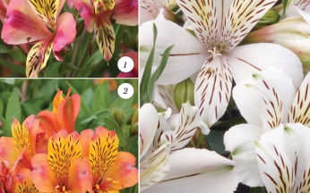 Alstroemeria Planet Series