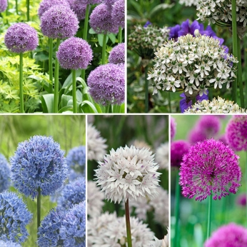 Allium Mixed Collection