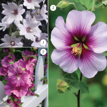Lavatera Lovely Mixed Collection