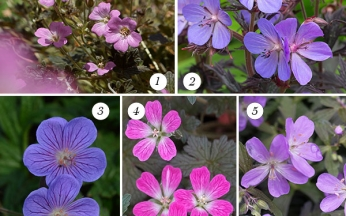 Geranium Rare Dark Leaved Collection