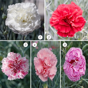 Dianthus Fragrant Selection