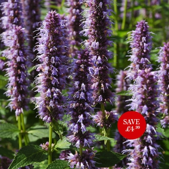 Agastache Blue Fortune (Giant Mexican Hyssop)