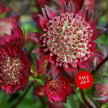 Astrantia Ruby major Star AGM (PBR)