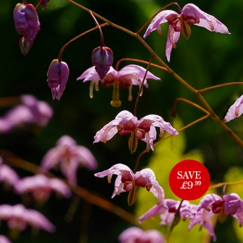 Epimedium Enchantress