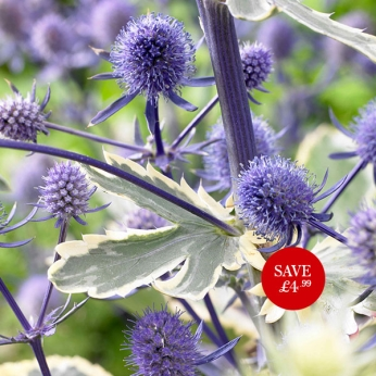 Eryngium (Sea Holly) Jade Frost PBR