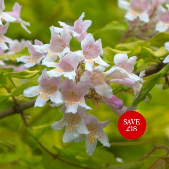 Kolkwitzia amabilis 'Dream Catcher'® (PBR)