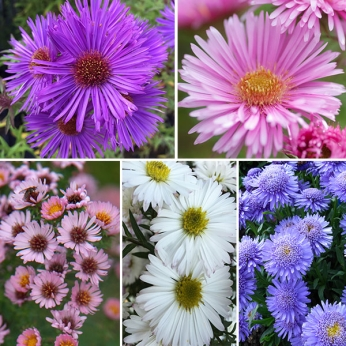 Aster Collection