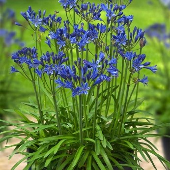 Agapanthus everblooming Summer Love Blue
